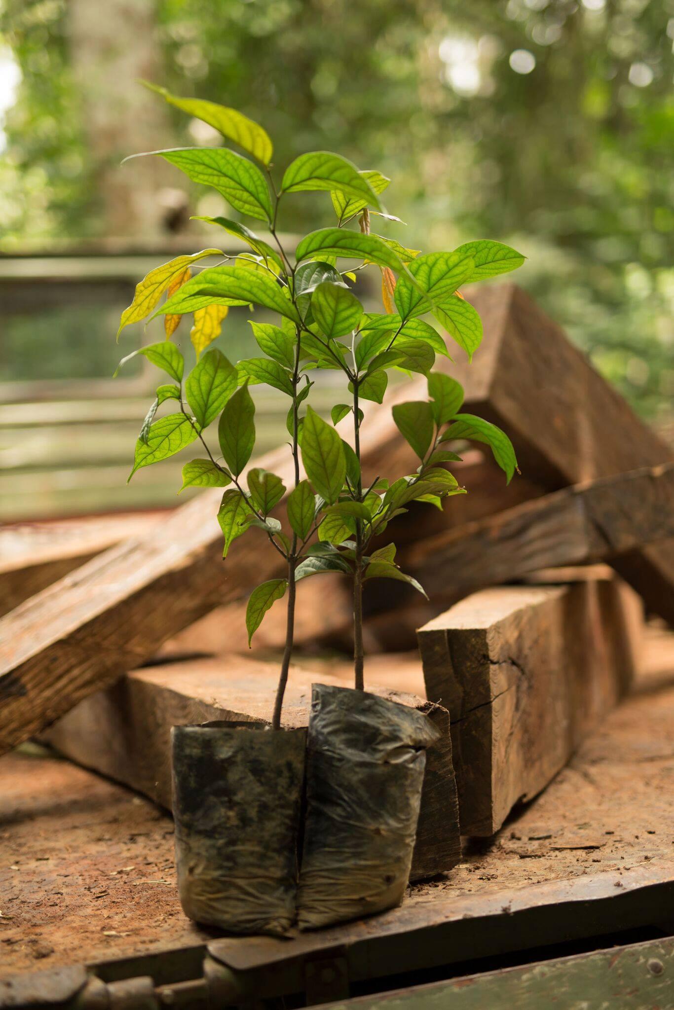 ebony trees & timber